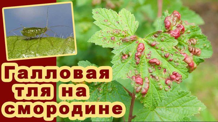 Галловая тля на смородине. Обработка листьев весной средством от тли. Красные пятна на листьях Видео - YouTube