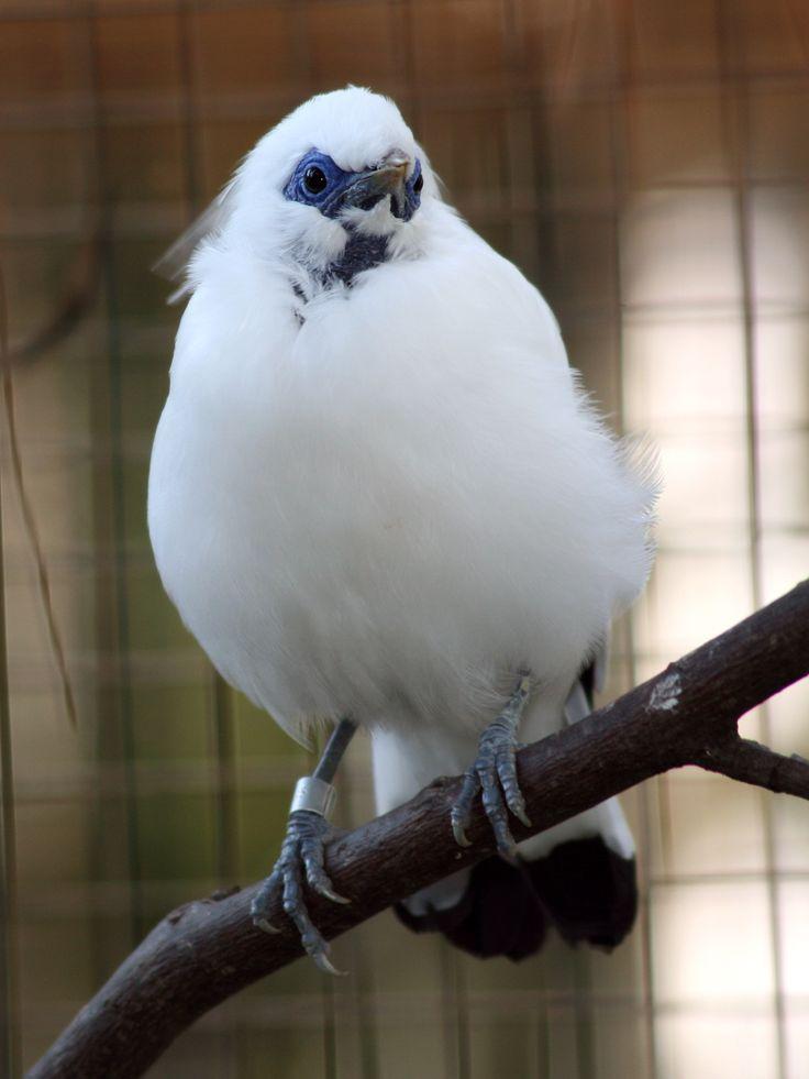 The Bali Mynah Is Rarest Bird Species At Zoo Atlanta Believed To Number
