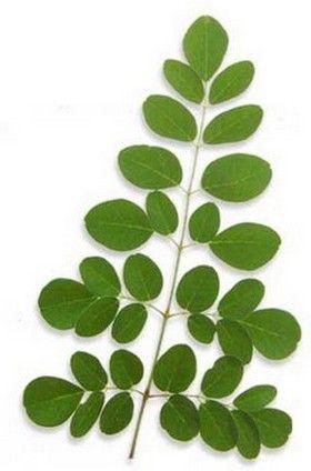 """Moringa oleifera, proprietà e benefici.  La moringa oleifera, nota anche come """"albero miracoloso"""", è una pianta appartenente alla famiglia delle Moringaceae. La sua maggiore diffusione riguarda le zone tropicali e equatoriali del pianeta. Può raggiungere i 10 metri di altezza ed è caratterizzata da fiori bianchi e foglie di colore verde smeraldo."""