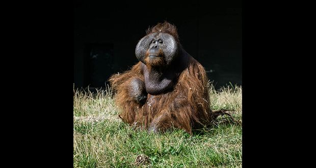 An orangutan named Sibu at a zoo in Apeldoorn, Netherlands rejected all attempts made for him to mate with female orangutans. He only exhibited sexual interest in his human female caretakers with a particular penchant for the blonde ones with tattoos.