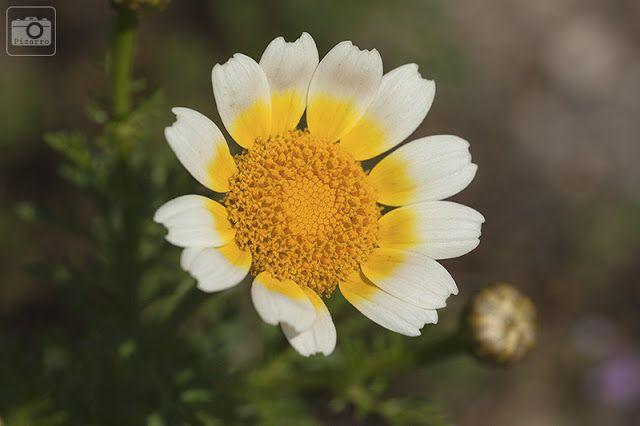 Natural de Rota: Chrysanthemum coronarium