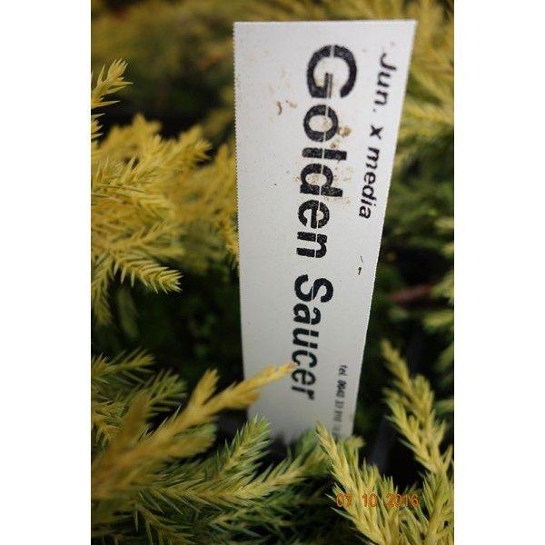 Juniperus x media Gold Saucer