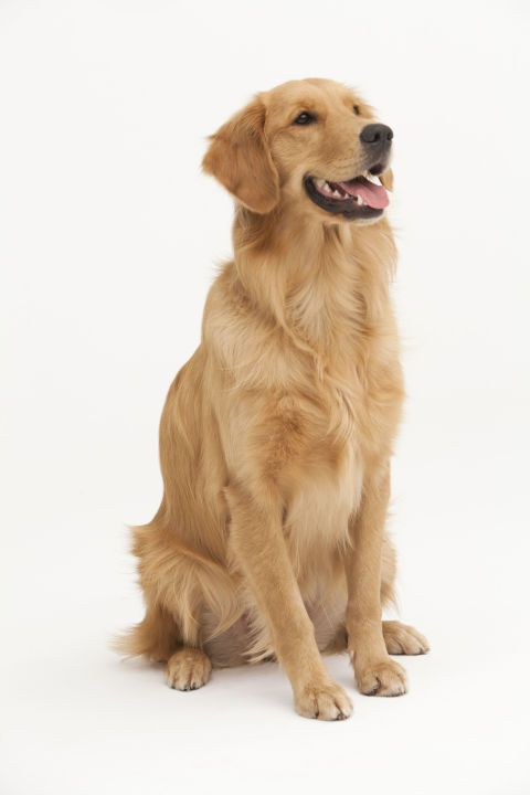 There are actually three types of golden retrievers, and they vary in color and size.