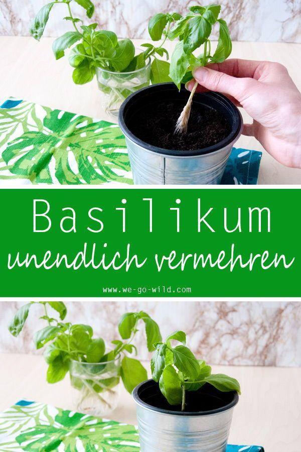 Basilikum Vermehren Durch Stecklinge Rezepte Gesund Schnell