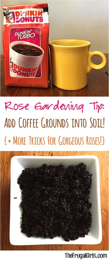 Rose Gardening Tips and Hacks! ~ from TheFrugalGirls.com - you'll love these tried and true gardening tricks that will create gorgeous blooms for your roses!