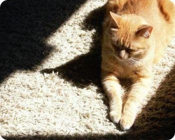 Como limpiar orina de gato de la alfombra - Amigos Peludines
