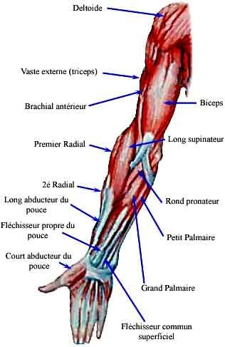 Top 15 best Muscles images on Pinterest | Muscles, Medical and Health LI16