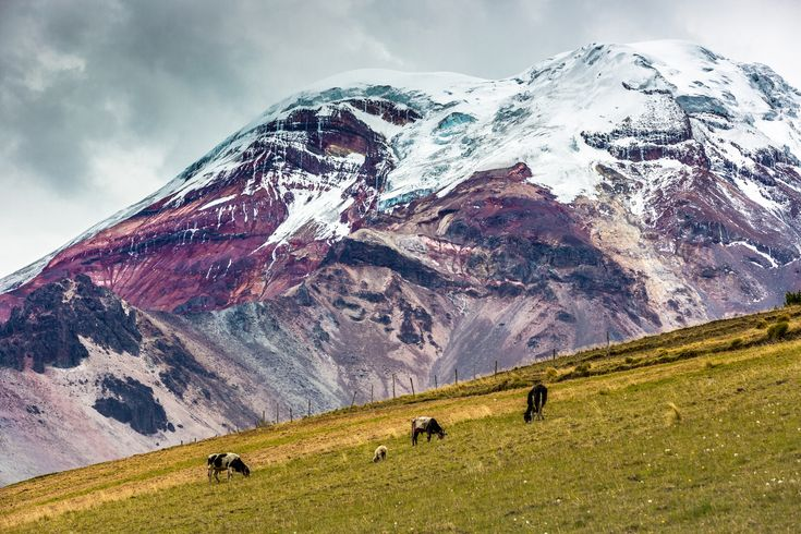 Cows grazing at the buttom of Chimborazo vulcano in Ecuador
