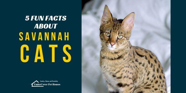 Savannah Cats Domestic Savannah Domestic Inlandische Savannenkatzen Chats De Savane Domestique Gatos De Sabana Domes In 2020 Savannah Cat Why Do Cats Purr Cats