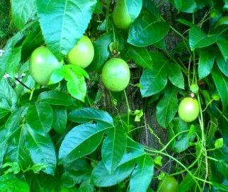 passion fruit plant what kills fruit flies