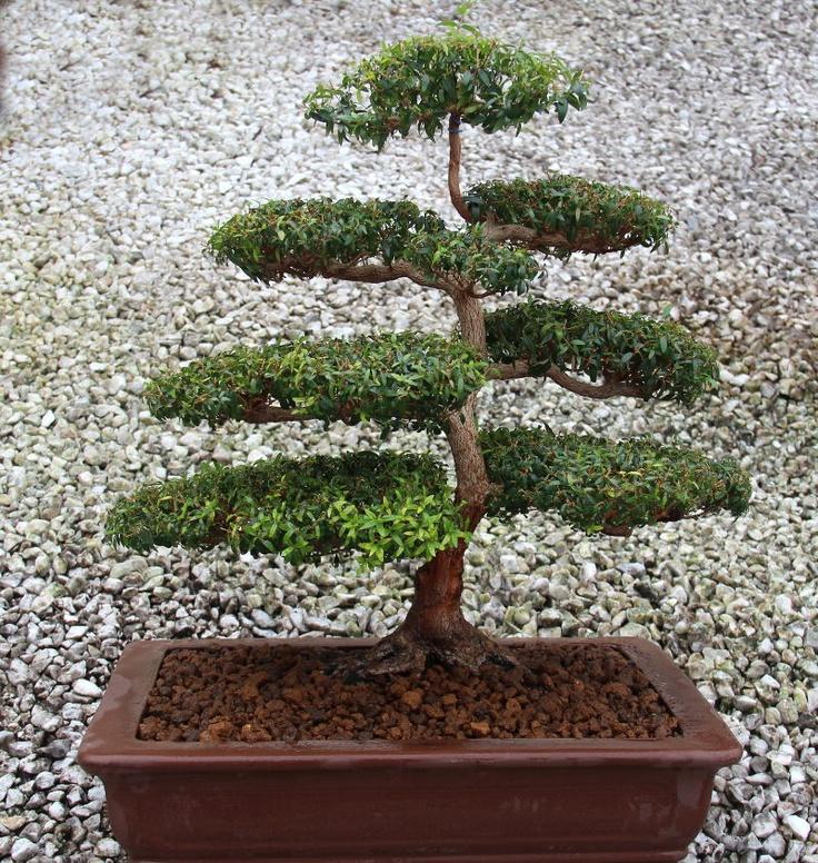 20 besten Myrten-Bonsai Bilder auf Pinterest | Bonsai, Pflanzen und ...