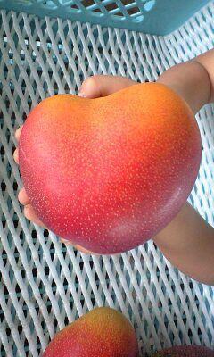 Heart-shaped mango ハートのマンゴー。 安田農園ではこの形のマンゴーは新婚さんにプレゼントしています。