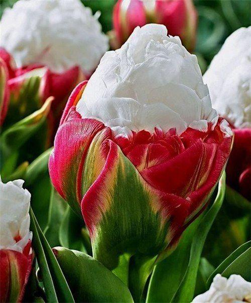 Луковичные цветы | Дачники