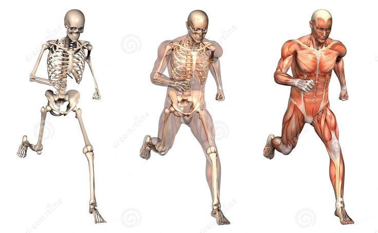 17 best Anatomie van hardlopen images on Pinterest | Anatomy, Body ...