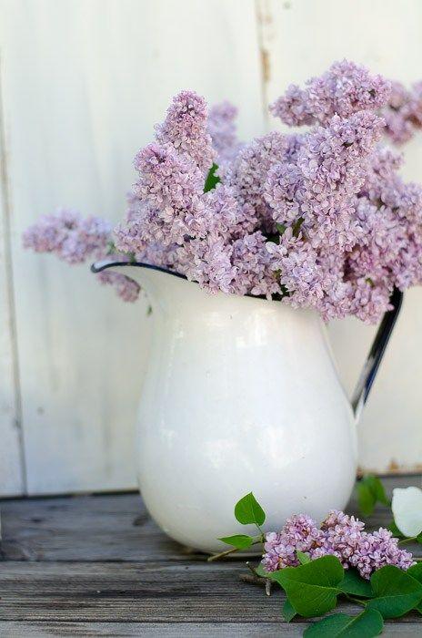 Lilac Bush Cost
