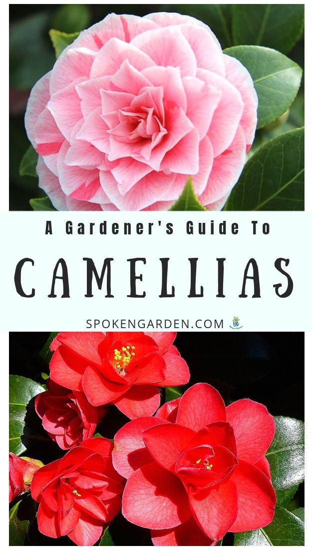 Camellia A Gardener S Guide And Plant Profile With Images Roses Garden Care Camellia Plant Flower Garden Care