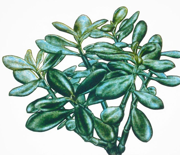 The Moneytree a two colour aquatint made by Dreipunkt artist Alexander Arundell during his early botanical phase in London. #alexanderarundell #money  #moneyplant #aquatint #fineart #fineartprint #limitededition #realistic #botanical #green #leaves