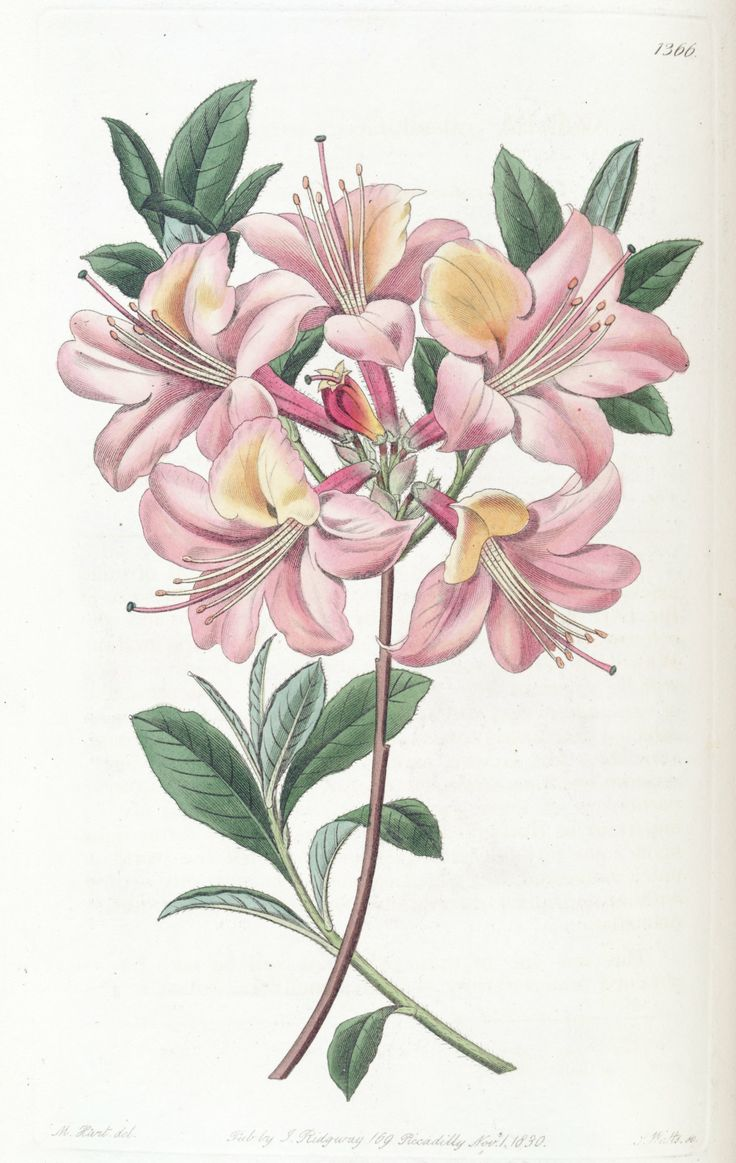 flame azalea rhododendron calendulaceum var subcuprea circa 1830 rhododendron and azalea. Black Bedroom Furniture Sets. Home Design Ideas
