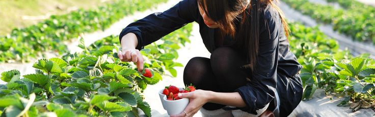 Strawberry Farm Stellenbosch   Strawberry Picking - Polkadraai Farm
