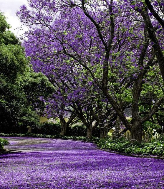 Jakaranda trees, I grew up in nairobi playing under these