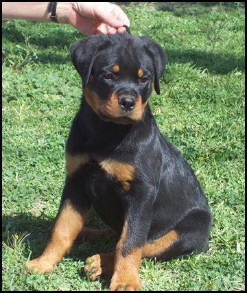 Glory Von Adlerhaus Rottweiler Puppies Rottweilerpuppy Pins We Like Rottweiler Puppies Irish Wolfhound Puppies