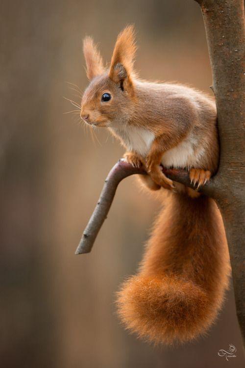 Du bist so ein hübsches Eichhörnchen. Dein wuschelig knuffiges Schwänzchen ist der Wahnsinn!