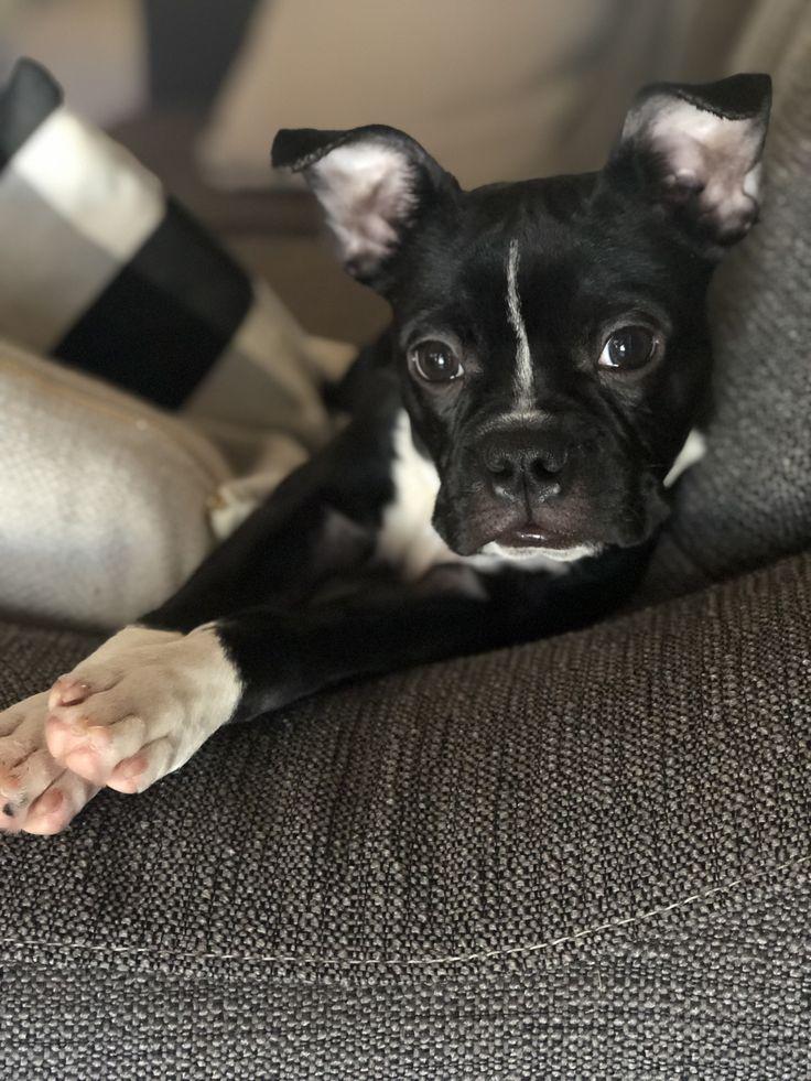 boston terrier!! Boston terrier, Terrier, Boston
