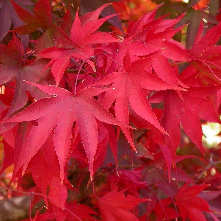 1000 ideas about acer palmatum on pinterest bonsai - Erable du japon vert ...