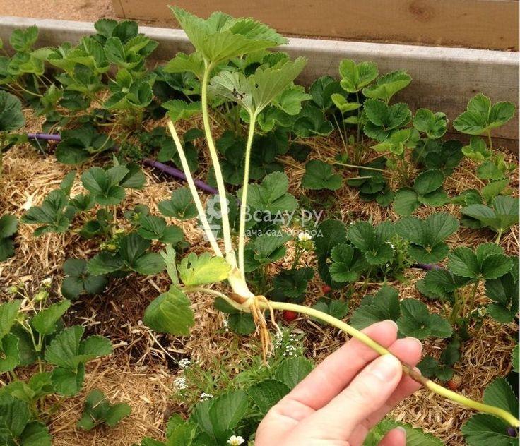 Клубника после сбора урожая что делать с кустом