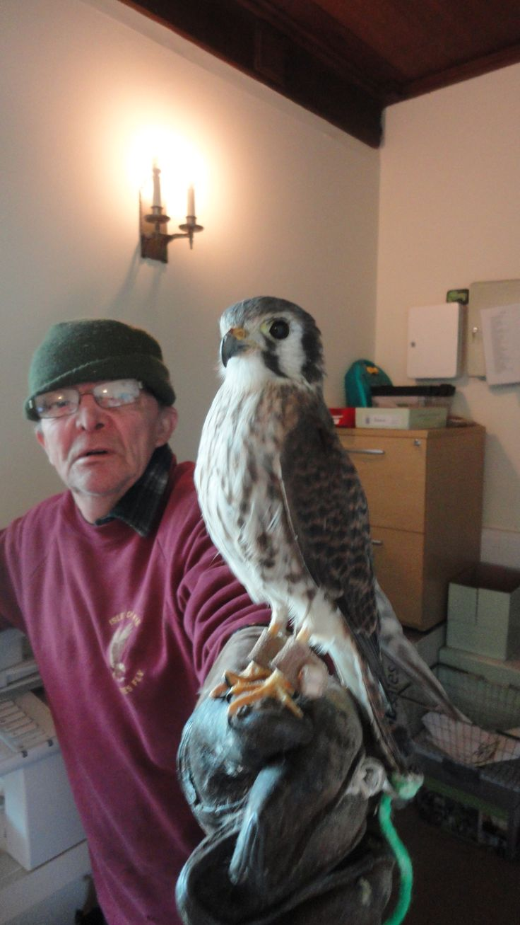 Falconer with new bird in Falkland Palace office!