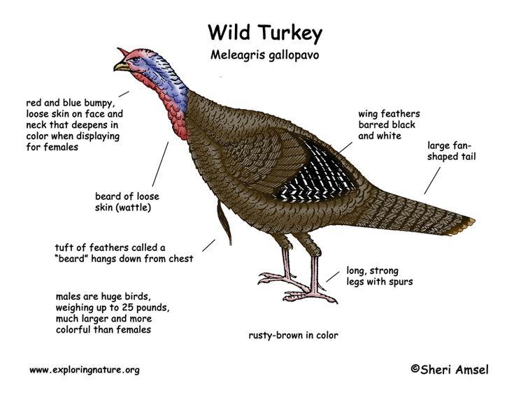 Wild Turkey Head Diagram Car Fuse Box Wiring Diagram