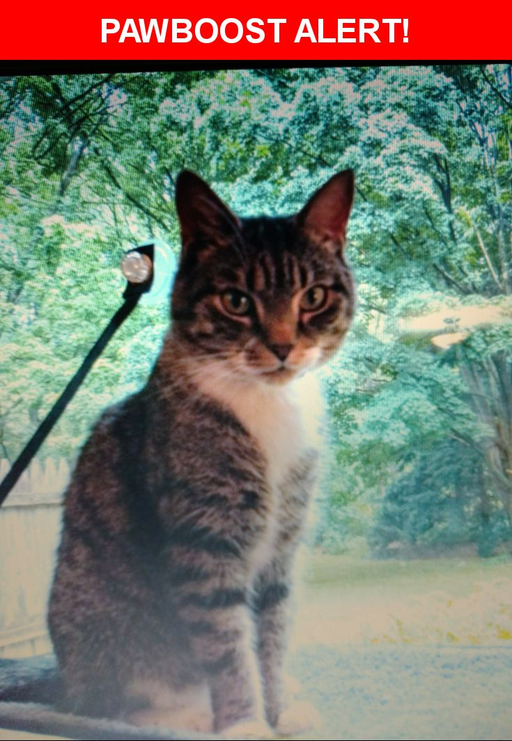 Please spread the word! Luigi was last seen in Ballston Lake, NY 12019.  Description: Tabby with white chin, feet, chest paws and tip of tail.   Blue reflective collar  Arrestor flea and tick collat  Nearest Address: 611 Mac Elroy Road, Ballston Lake, NY, (Jonesville)