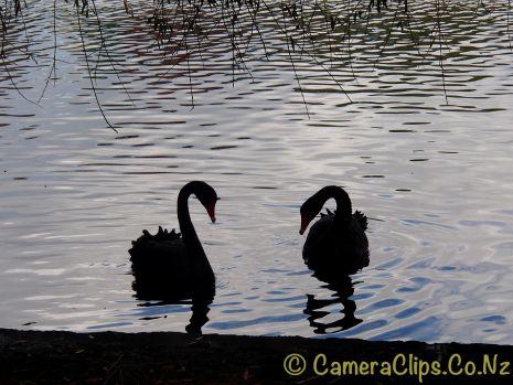 Swan Lake Silhouettes