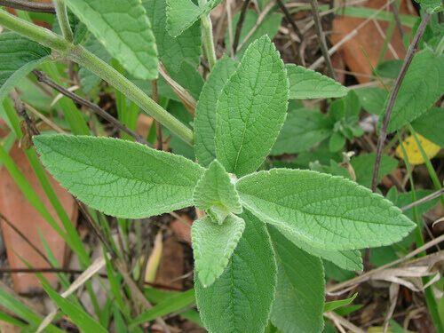 Salvia on kasvi jolla on monia terveydellisiä ominaisuuksia. Yksi niistä on sen vaikutus vatsaan auttamalla sinua saamaan se litteämmäksi, joka tekee siitä ihanteellisen osan laihduttajan ruokavalioon. Lue tästä artikkelista mitä etuja Salvia teen tai uutteen juomisella on.