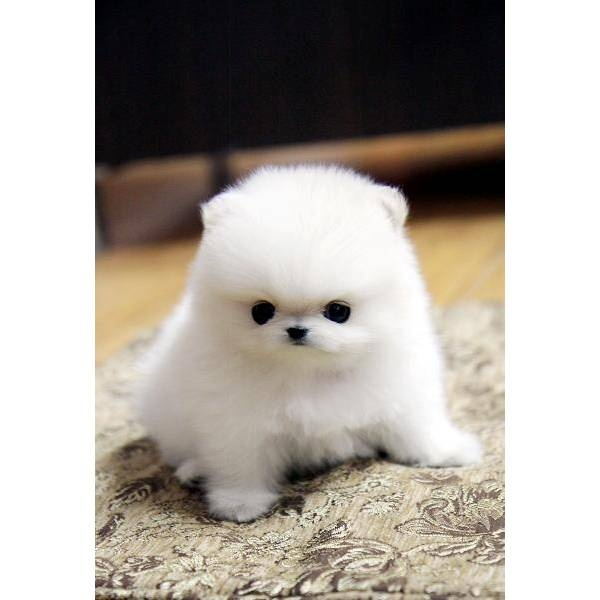 1000+ images about Tea Cup Pomeranian on Pinterest ...