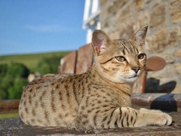 Un Chat Cha Sse L Autre Cats Cats Egyptian Mau Cat