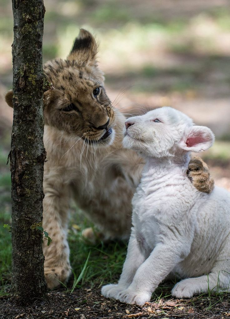 Lion cub Cecil plays with Zahra, a four-week-old white lion cub