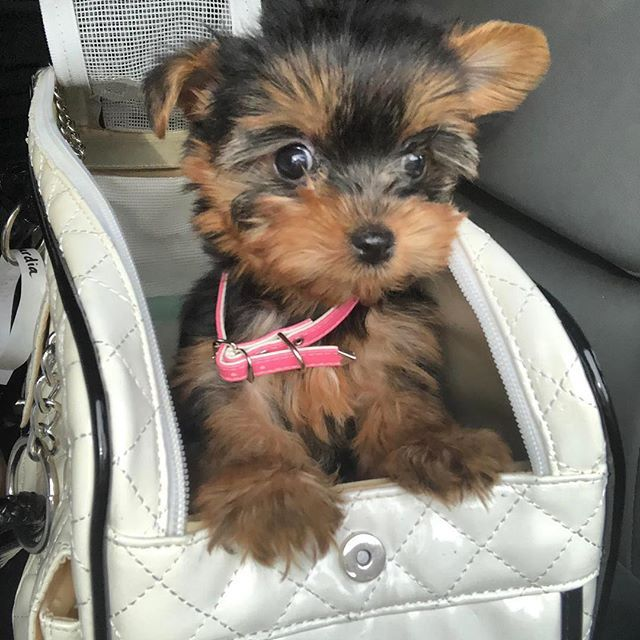 Woof Woof Puppies Boutique Woofwoofpuppies Instagram Photos And Videos Puppies Yorkie New Puppy