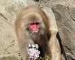 A Japanese macaque eats cherry blossoms at Tokyo's Ueno zoo, on April 2. The zoo placed a cherry tree into the macaques habitat as the buds and flowers are some of their favorite foods