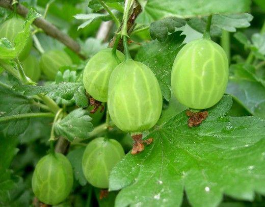 для получения хорошего урожая, должно быть минимум три-четыре куста крыжовника.