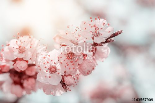 """Download the royalty-free photo """"Spring background art with pink blossom. Beautiful nature scene with blooming tree and sun flare. Sunny day. Spring flowers. Beautiful orchard. Abstract blurred background. Shallow depth of field."""" created by Victoria Kondysenko at the lowest price on Fotolia.com. Browse our cheap image bank online to find the perfect stock photo for your marketing projects!"""