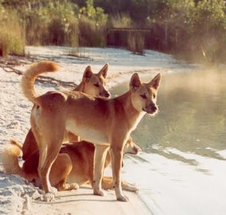 """Attuned to Dingo's wild side, Aborigines raised Dingo Pups to help with hunting. The Australian expression, """"three dog night"""" comes from the Aborigines' use of their Dingoes as living blankets on cold nights. Very cold nights required three Dingoes. For extremely frigid nights, six Dingoes were needed."""