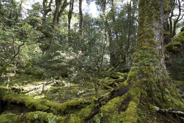 Rainforest at Cradle Mountain National Park.