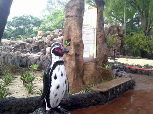 Zoológico La Aurora presenta su nuevo atractivo: Pingüinos :3