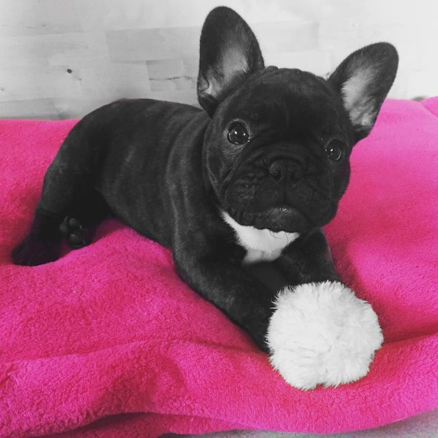 Instagram media jennifer_doernen - #Time 2 #play  #Millie #frenchie #frenchbulldog #frenchbulldogs #frenchienation #frenchielove #frenchielove_feature #thefrenchiepost #adorable #cute #sweetdogs #frenchiesofinstagram #frenchiegram #bulldog #bulldogs #bullylove #bullylife #fun #puppy #puppylove #dog #dogs #fun #pink