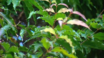 Gardening Australia - Fact Sheet: Native Herbs