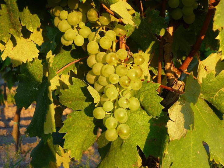 It's time to #harvest! In Pitigliano #Tuscany... we're harvesting Vermentino! #PoggioalTufo #Tommasiwine www.poggioaltufo.it