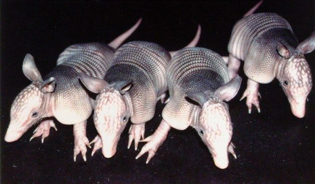 ARMADILLOS | 50 Sure Signs That Texas Is Actually Utopia