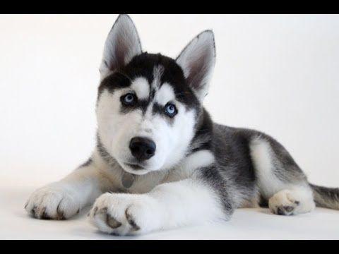 New UConn Husky Puppy, Jonathan XIV!