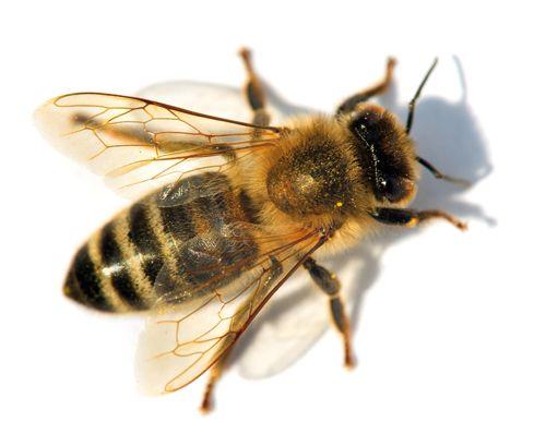 Améliorer le gîte et le couvert de 80 000 abeilles, voilà le projet d'une équipe de La Borne qui s'est penchée sérieusement sur le sujet, en fabricant des ruches en châtaignier. Pourquoi du châtaignier ? Vous allez répondre comme quand vous visitez les charpentes d'un château, c'est parce que le bois de châtaignier fait fuir les araignées. En effet, de multiples causes sont à l'origine de la mort des abeilles dont des acariens qui infestent les ruches et principalement le varroa.